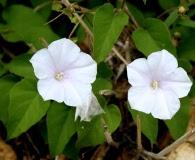 Jacquemontia pringlei