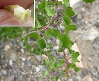 Jatropha cardiophylla