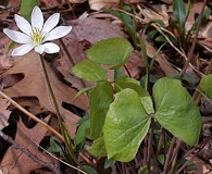 Jeffersonia diphylla