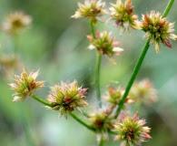 Juncus canadensis