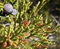 Juniperus ashei