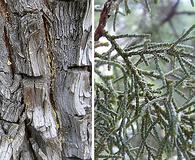 Juniperus deppeana