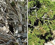 Juniperus pinchotii