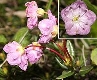 Kalmia microphylla