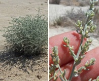 Kochia californica