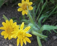 Lasthenia minor