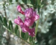 Lathyrus brownii