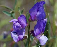 Lathyrus polymorphus