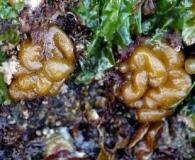 Leathesia marina