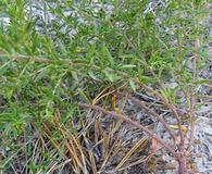 Lechea racemulosa