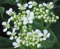 Lepidium chalepense