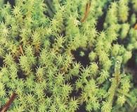 Leptodontium viticulosoides