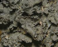 Leptogium austroamericanum