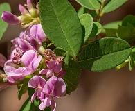 Lespedeza frutescens