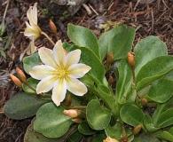 Lewisiopsis tweedyi