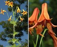 Lilium canadense