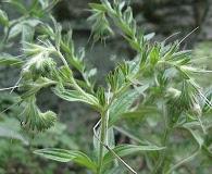 Lithospermum parviflorum