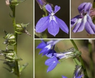 Lobelia georgiana