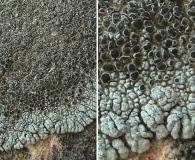 Lobothallia alphoplaca
