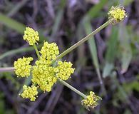 Lomatium bradshawii