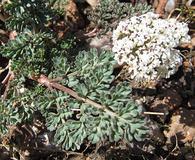 Lomatium canbyi