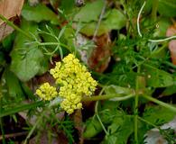 Lomatium cookii
