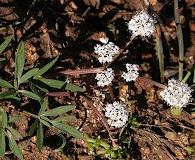Lomatium gormanii