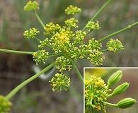 Lomatium packardiae