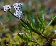 Lomatium piperi