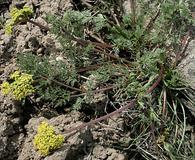 Lomatium quintuplex