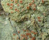 Loxospora ochrophaea