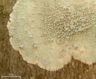 Loxospora pustulata