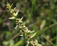Ludwigia lanceolata