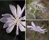 Lygodesmia aphylla