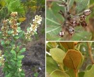 Lyonia fruticosa