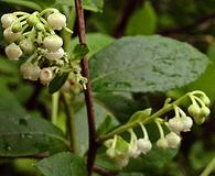 Lyonia ligustrina