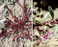 Lythrum tribracteatum