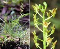 Malaxis spicata