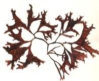 Mastocarpus stellatus