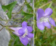 Maurandella antirrhiniflora