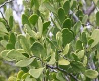 Maytenus phyllanthoides