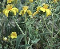 Mentzelia packardiae
