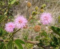 Mimosa albida
