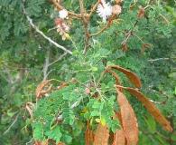 Mimosa bahamensis
