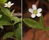 Moehringia lateriflora