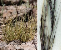 Muhlenbergia appressa