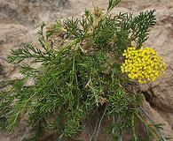 Musineon tenuifolium