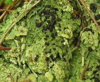 Mycobilimbia berengeriana
