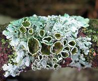 Myelochroa galbina