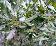 Myrica heterophylla